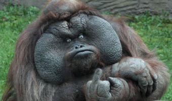 Gorillhawok